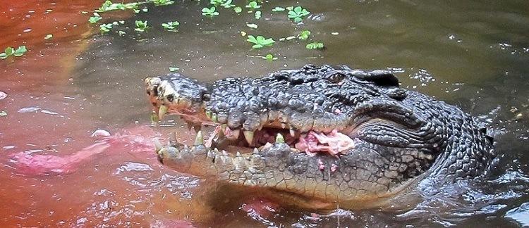 crocodilo-agua-salgada-animais-perigosos