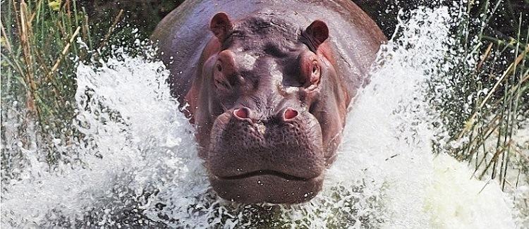 hipopotamo-animais-perigosos