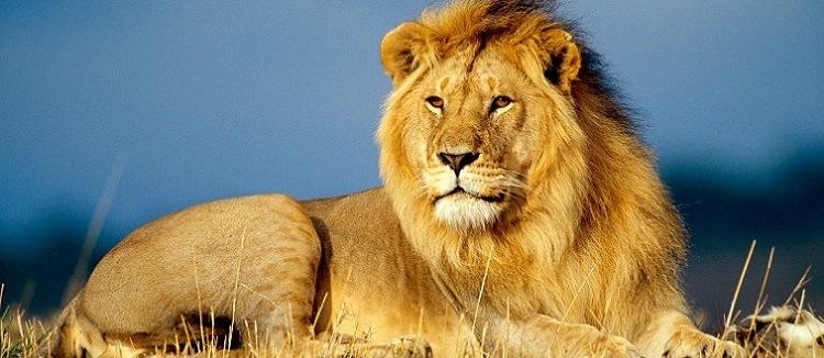 leao-africano-animais-perigosos