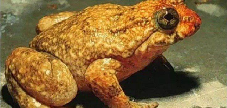 Rheobatrachus vitellinus (extinto em 1983)