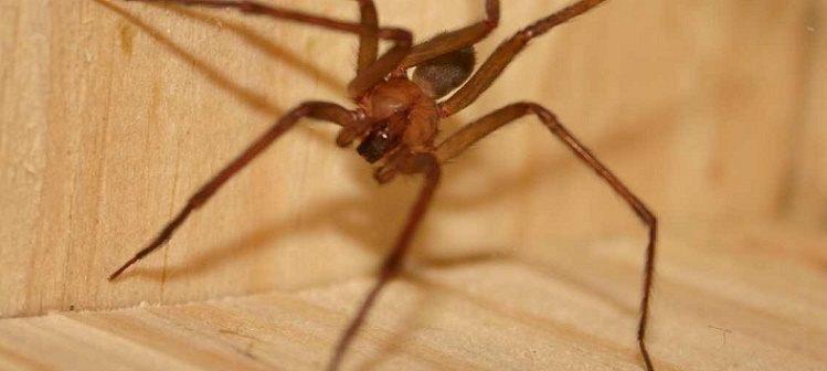 Aranhas Marrons