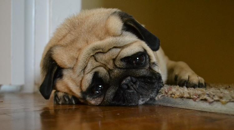 Foto de um Pug triste pelo fim das séries da Netflix